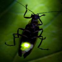 Pixwords The image with bug, animal, wild, wildlife, small, leaf, green Fireflyphoto - Dreamstime